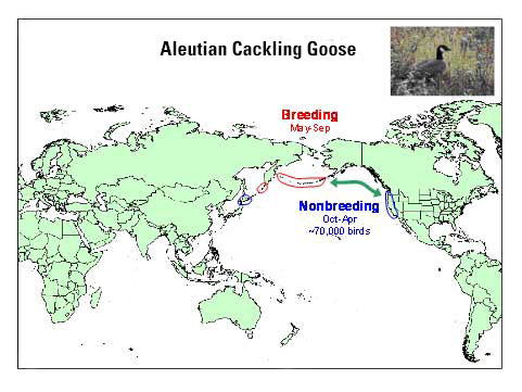 Distribution map of Aleutian Cackling Geese