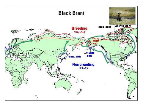 Distribution map of Black Brant