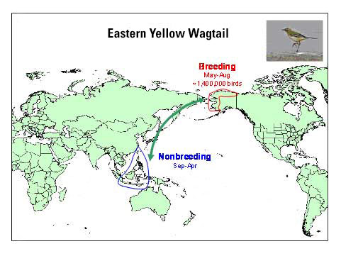Distribution map of Eastern Yellow Wagtail