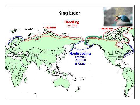 Distribution map of King Eider