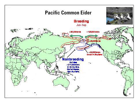 Distribution map of Pacific Common Eider