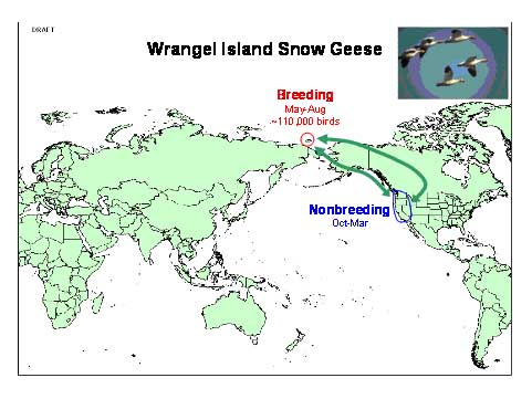 Distribution map of Lesser Snow Goose