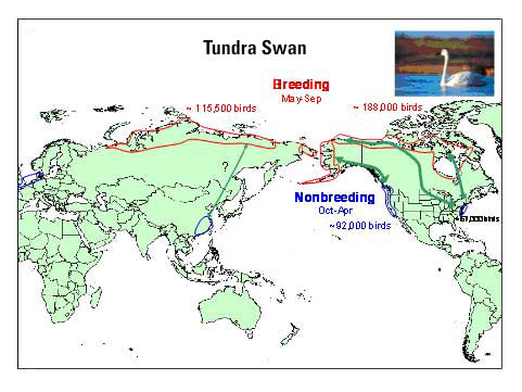 Distribution map of Tundra Swan